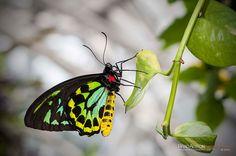 New Guinea Birdwing (Ornithoptera priamus) photo by Brad Alston.