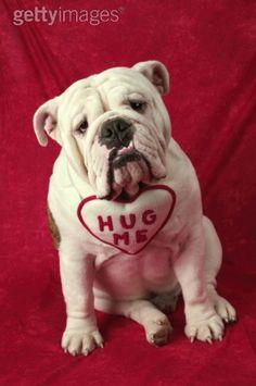 Bulldog: Hug Me