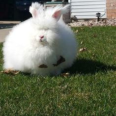 The Angora Rabbit | The 15 Goofiest Animals Who Make The World A Happier Place
