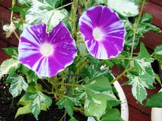 Morning Glory 'Nanami' - Ipomoea nil - Seeds - Blizzard Pattern Variegated Leaf!