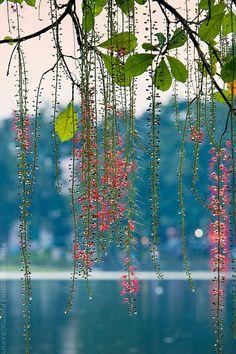 https://flic.kr/p/oRunjr | Lộc Vừng hồ Gươm... | 0904171723