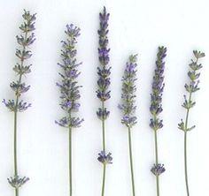 Hoa oải hương không chỉ có một màu tím huyền thoại mà có nhiều giống có màu khác nhau từ vàng đến xanh nhạt có thể trồng quanh năm .  http://ift.tt/1OasIEJ