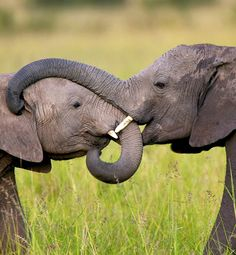 """10 Amazing Facts That Put Life in Perspective: """"Elephants remember and mourn loved ones, even many years after their death. When an elephant walks past a place that a loved one died he or she will stop and take a silent pause that can last several minutes. While standing over the remains, the elephant may touch the bones of the dead elephant (not the bones of any other species), smelling them, turning them over and caressing the bones with their trunk"""