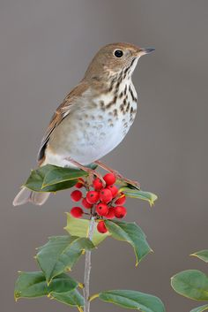 The Hermit Thrush - Catharus guttatus, is a medium-sized passerine bird. Their breeding habitat is coniferous or mixed woods across Canada, Alaska, and the northeastern and western United States.