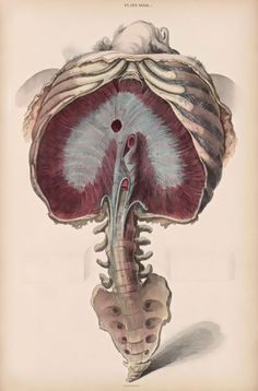 Diaphragm rib cage lumbar coccyx {A system of anatomical plates of the human body accompanied with descriptions and physiological pathological and surgical observations John Lizars. Anatomy Drawing, Anatomy Art, Human Anatomy, Anatomy Reference, Art Reference, Illustration Botanique, Human Body Systems, Human Figure Drawing, Medical Anatomy