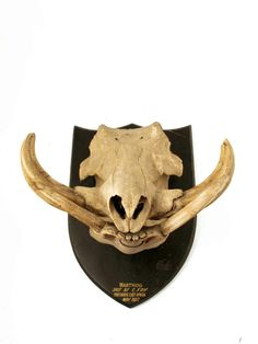 Warthog with big tusks. Mandibles, Cape Town. | Skulls ...