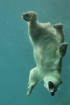 Eisbär beim Tauchgang