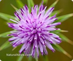 Today, milk thistle is primarily used to improve the function of the liver, kidneys and gastrointestinal system. Many individuals have seen dramatic improvement using milk thistle for health issues such as psoriasis, menstrual problems, jaundice and poor circulation. www.naturalnews.c...