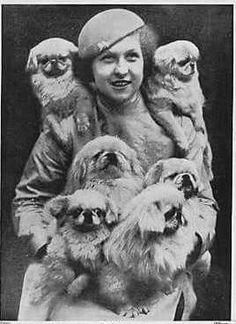 Pekingese at Cruft's Dog Show - Mrs Groad Peke Yorkies, Pekingese Dogs, Fu Dog, Cat Mouse, Vintage Dog, Dog Show, Dog Photos, My Animal, Shih Tzu