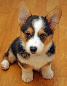 corgi! I want my next corgi to be tri-colored! He will be #3