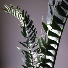 Encephalartos horridus  ¥100,000