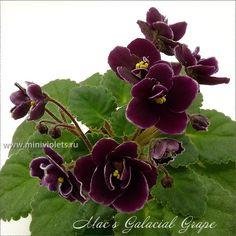 Mac's Glacial Grape (G.McDonald) - стартеры, растет оч.быстро, оч.темный цветок. Есть лишние
