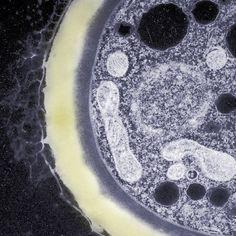 Célula Eucariótica - Fungi