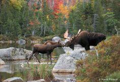 moose kiss More