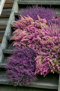 Høsten er tid for lyng Blog, Fall, Plant, Autumn, Blogging