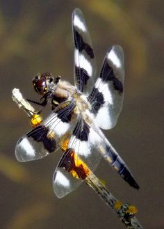 Nice Wings  Libellula Forensis By Clay Kemper