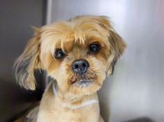 SAFE --- SUPER URGENT 2/1/14  Manhattan Center    SGT. CHARLES - A0990815   MALE, TAN / BLACK, SHIH TZU MIX, 8 yrs  SEIZED - ONHOLDHERE, HOLD FOR HOSPITAL Reason OWNER HOSP  Intake condition GERIATRIC Intake Date 02/01/2014, From NY 10462, DueOut Date 02/08/2014 Original thread: https://www.facebook.com/photo.php?fbid=750936691585879&set=a.617942388218644.1073741870.152876678058553&type=3&permPage=1