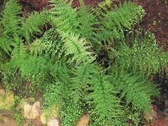 Асплениум живородящий - Asplenium viviparum, асплениум фото