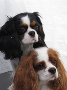 ~ Beautiful Cavalier King Charles Spaniels