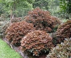 Rhododendron bureavii- new spring foliage emerges bronze color with fuzzy texture