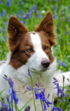 """♥ """"Bluebell Luke"""" Border Collie. This site has some fantastic candid shots of Border Collies at work and play. ♥"""
