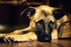 En perras, la esterilización, sirve para no tener embarazos no deseados, sino también se lleva a cabo por un número de otras razones, como los casos en que los embarazos fantasmas( embarazo psicológico) son un problema para las perras (No esterilizadas), las perras intactas también parecen estar en mayor riesgo …