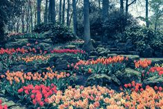 A Mania for Tulips at Keukenhof Home Garden Design, Home And Garden, Large Flowers, Botany, Perennials, Tulips, Netherlands, Orchids, Trees