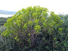 euforbia  arborescente