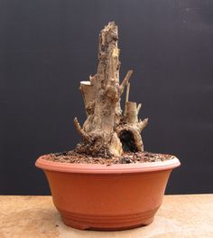 Privet bonsai stump