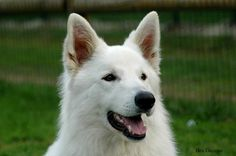 Pastor suizo, mi próximo perro