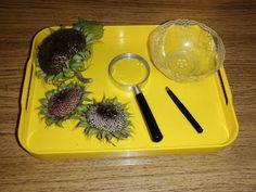 Montessori Design: Sunflower Tweezing
