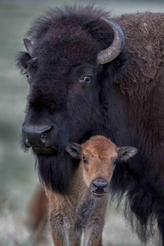 Mother & Baby Buffalo in Kansas