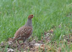 Did you know the grey partridge is monogamous? Animal Fact File, Animal Facts, Grey Partridge, E Bird, Wildlife, Grouse, Animals, Outdoor, Country