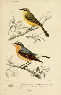 gravures couleur d'oiseaux - Gravure oiseau 0195 bergeronnete printaniere - budytes flava - passereau - Gravures, illustrations, dessins, images