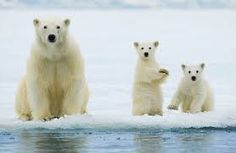 「polarbear」の画像検索結果