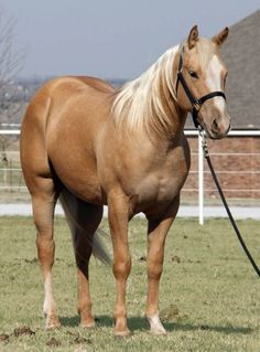 VON STEP AT A TIME, palomino quarter horse stallion