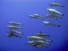 Spinner Dolphins, Honokohau, Big Island, Hawaii | Photo by Steve Dunleavy via Flickr, 2010-Feb-8