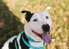 4 / 24 Petango.com – Meet Justice, a 4 years 3 months Terrier, American Pit Bull / Mix available for adoption in WICHITA, KS Contact Information Address PO Box 21401, WICHITA, KS, 67208 Phone (316) 734-0820 Website http://waalrescue.org Email rescue@waalrescue.org