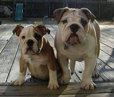Can't wait to have my bulldog :)