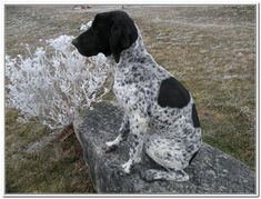 Some of the things I like about the Enthusiastic German Shorthaired Pointer Pup Pointer Puppies, Pointer Dog, Happy Puppy, Happy Dogs, German Shorthaired Pointer Black, French Dogs, Puppy Classes, Hiking Dogs, Purebred Dogs