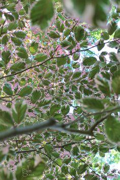 tri-color beech tree    PlumSiena
