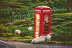 Jim Brandenburg: Pic of the Week: Sheep with Phone Booth Baa Baa Black Sheep, Telephone Booth, Surreal Photos, Sheep And Lamb, Counting Sheep, Picture Captions, Good Old, Cute Animals, Farm Animals
