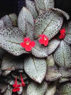 Episcia 'Silver Skies' (Gesnériacées) dans un terrarium, Paris Beautiful Red Roses, Beautiful Flowers Garden, Amazing Flowers, Indoor Flowers, All Flowers, My Flower, Exotic Plants, Tropical Plants, Tropical Flowers