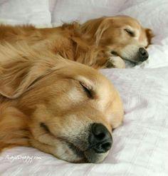 Golden Retrievers are one of the most honest dog breeds you'll ever encounter. Retriever Puppy, Dogs Golden Retriever, Golden Retrievers, Cute Puppies, Cute Dogs, Dogs And Puppies, Doggies, Golden Dog, Golden Life