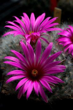 Mamillaria guelzowiana cactus flower