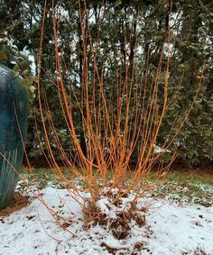 Even a few small cuttings of coral bark willow will add tremendous color to winter containers.