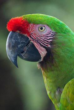 Great Green Macaw... I would love another sighting of these! A good long one where I can sit with my binos and soak it in.
