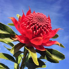 Growing and arranging beautiful Australian Native Flowers and all things Proteaceae. Flowers Nature, Exotic Flowers, Tropical Flowers, Amazing Flowers, Yellow Flowers, Spring Flowers, Wild Flowers, Australian Wildflowers, Australian Native Flowers