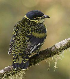 The Scaled Fruiteater (Ampelioides tschudii) is found in Bolivia, Colombia, Ecuador, Peru, and Venezuela. Photo: Dusan Brinkhuizen.