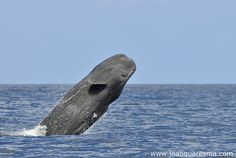 Flying [Sperm] Whale by quarrresma / João Quaresma, via Flickr